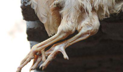鸡传染性法氏囊病临床症状与预防