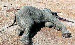 大屠杀!300多头野生大象被毒害