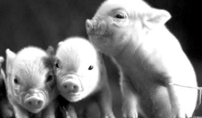九种常见传染性猪病的鉴别诊断