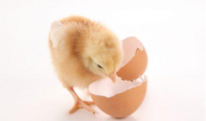 两会中再提家禽业    政府明确扶持