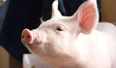 中国散户生猪养殖进入微利时代,养殖户何去何从?