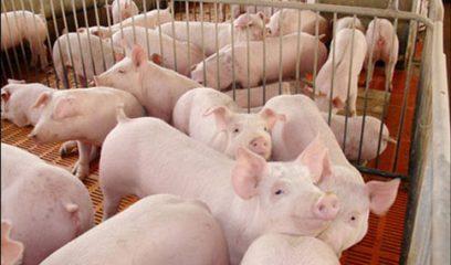 农业部:我国生猪规模化养殖比重达40.8%