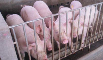 我国生猪养殖贷款及生猪补贴详解