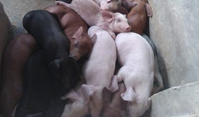 中西医结合防治秋冬季节常见生猪疾病