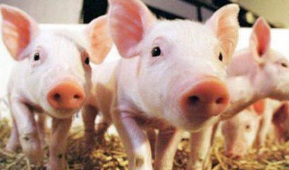 2018年国际养猪繁殖研讨会注册优惠即将截止,抓紧时间报名吧!